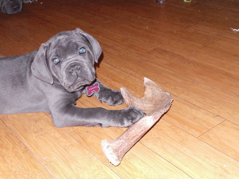 Рога для собак щенка