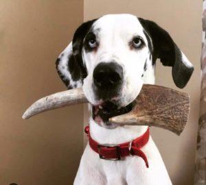 лосиные рога для собак