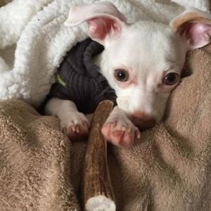 У щенка не стоят уши что делать